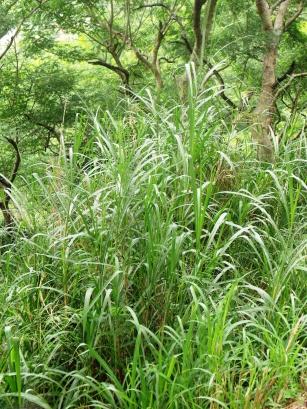 Leucaena growing over Napier grass.