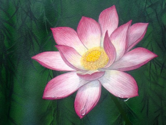 Lotus lily ,Nelumbo nucifera.