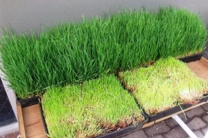 Sprouted wheat grass. Barley grass and probably other grasses such as Guinea grass can be sprouted in trays, broken up into pieces, mixed with soil improvers and seeds, and fed to livestock to disperse the seedes and soil improvers in the r manure.