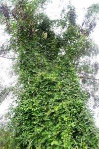 Centrosema climbing a Leucaena tree and providing dnse habitat for wildlife.