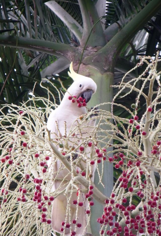 A sulphur-c4rested cockatoo eats the fruits of an Alexandra palm.