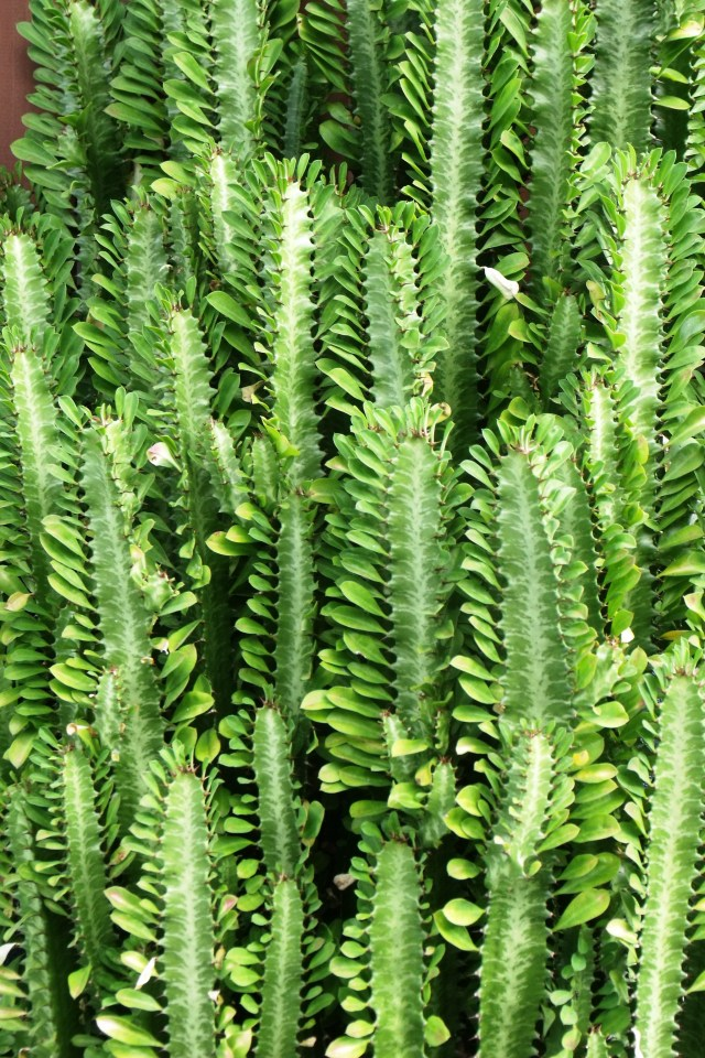 Euphorbias can be used as live fences.