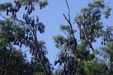 Spectacled flying fox colony.