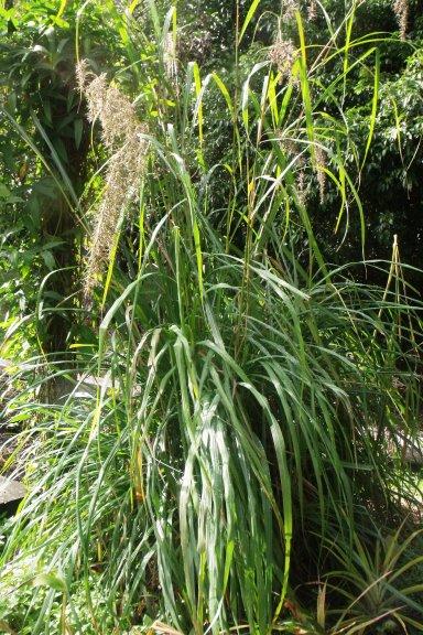 Lemon grass, Cymbopogon citratus.