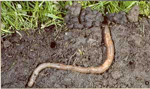 Eartworm in action - note caste at top left. Photo: plantandsoil.unl.edu.