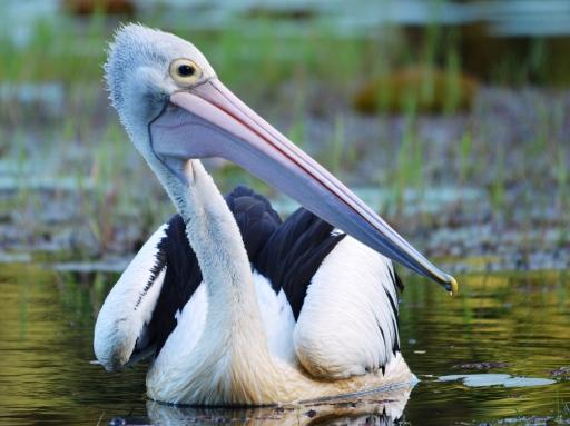 An Austrlaian Pelican.