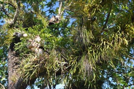 A mass of epiphytes covers a Barringtonia calyptrata tree. Cairns, Australia.