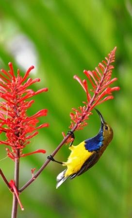 A male Yellow-bellied Sunbird visits Odontonema strictum flowers for nectar.