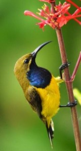 A male Olive-backed sunbird (or Yellow-bellied sunbird) visits Odontonema strictum for nectar.