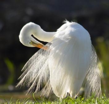 A preening egret, Centenary lakes, Cairns, Australia.