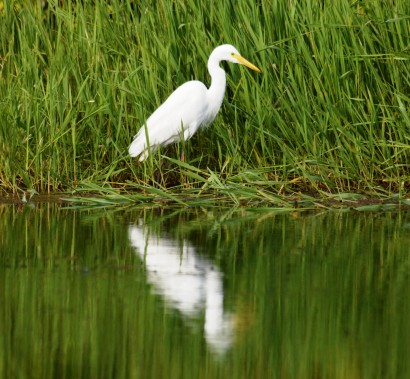 An egret hunting along a well-vegetated water's edge.