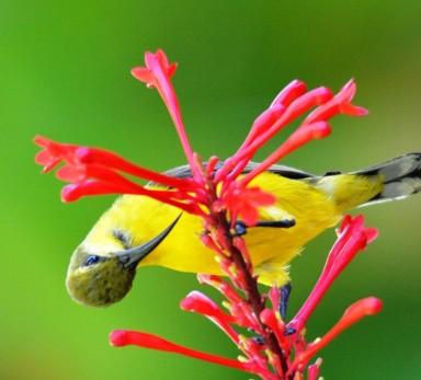 A female sunbird.
