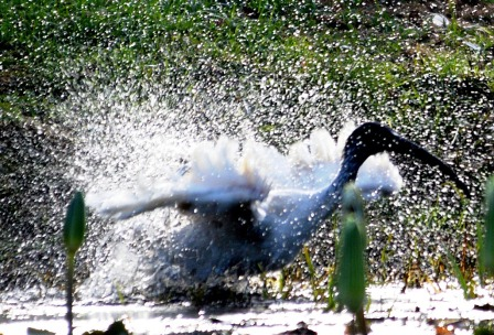 An Australian white ibis enjoys a shower of its own making. Photo: David Clode.