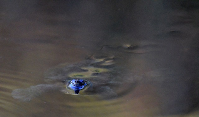 A freshwater turtle, Freshwater Lake, Centenary Lakes, Cairns.