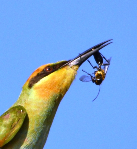 A rainbow Bee-eater has caught a wasp. Photo: dDvid Clode.