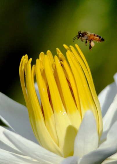 Honey bee visits water lily.