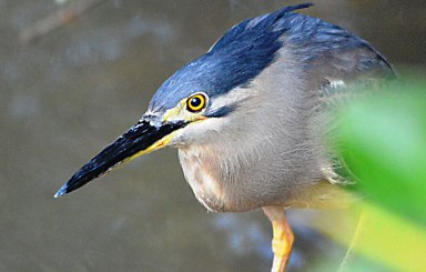 Mangrove Heron. Photo: David Clode.