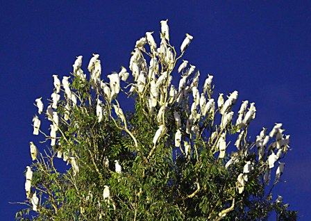 Perches attract wildlife, which deposit seeds and aid natural regeneration. Sulphur-crested Cockatoos.