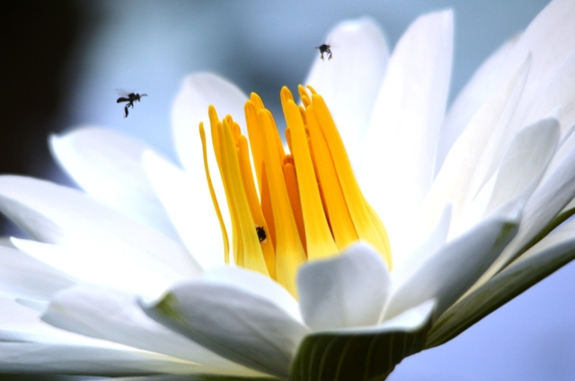 Australian native bees visiting a water lily. Photo: David Clode.