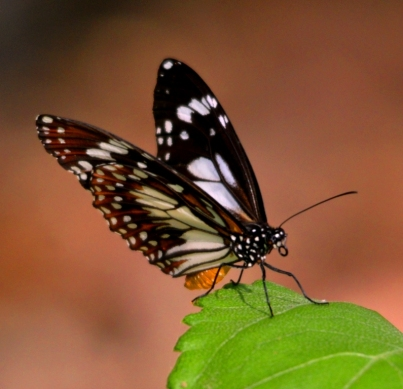 A butterfly on a Wedelia leaf. Cairns.