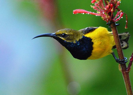 Male Olive-backed sunbird (Yellow-bellied sunbird).
