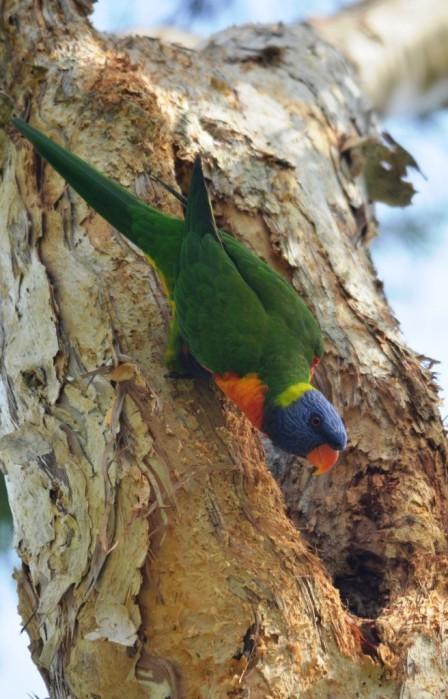 Guarding the nest hollow. Rainbow Lorikeet. Photo: David Clode.