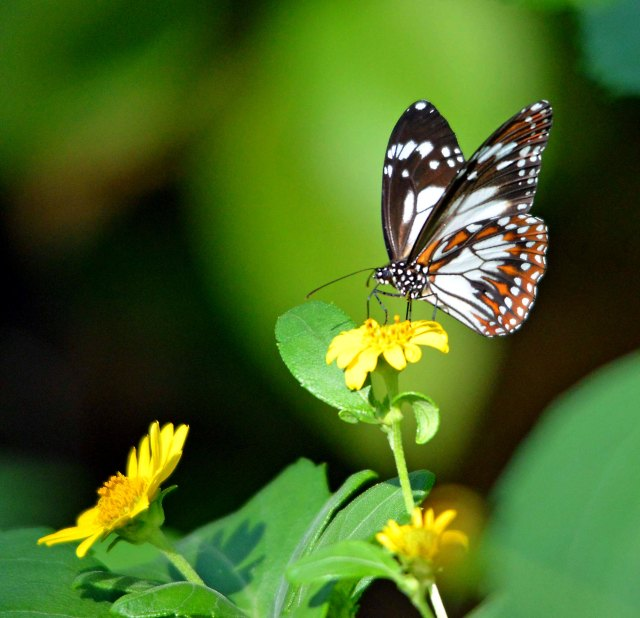 A butterfly visits the flowers of an Australian native Wedelia.