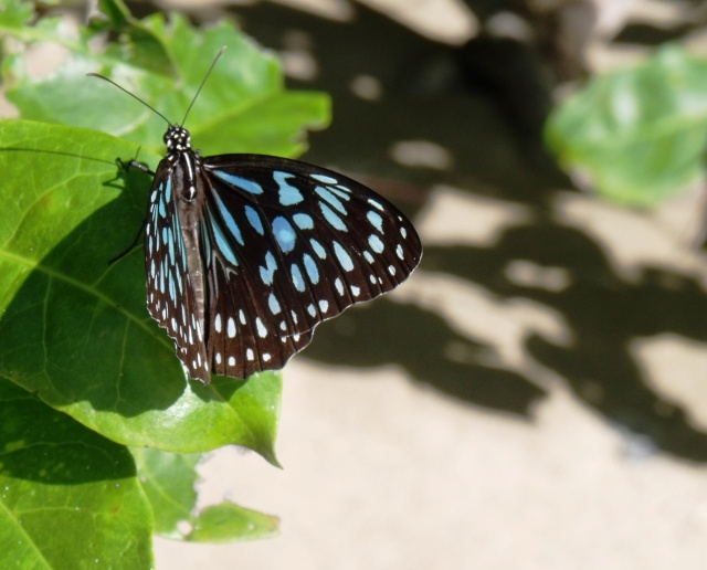 Blue Tiger Butterfly. Cape Tribulation Beach. Photo: David Clode.