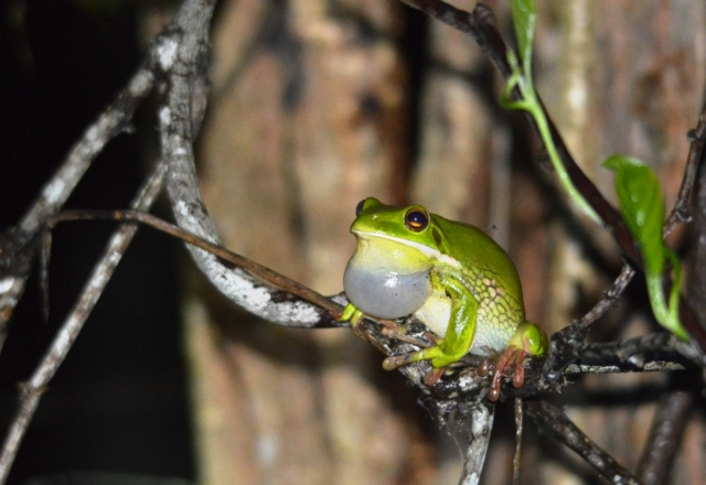 A White-lipped Treefrog has found a nice perch on a jungle vine above the water, from which to call. Small wetland west of Cairns cemetery.