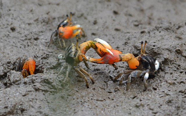 Crab combat. Orange-clawed Fiddler Crabs Uca coarctaca, Saltwater Creek, Cairns.