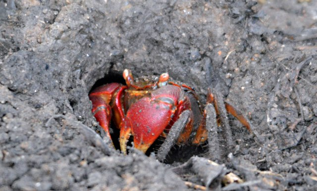 A mangrove crab. Saltwater Lake, Cairns.
