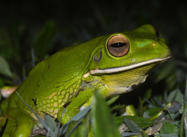 White-lipped Treefrog, Litoria infrafrenata. Out and about on a rainy night, Cairns cemetery.