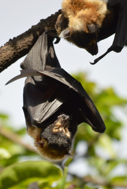 """Trying to get some sleep"". Spectacled Flying Fox or Fruit bat. Lake Street, Cairns. Photo: David Clode."
