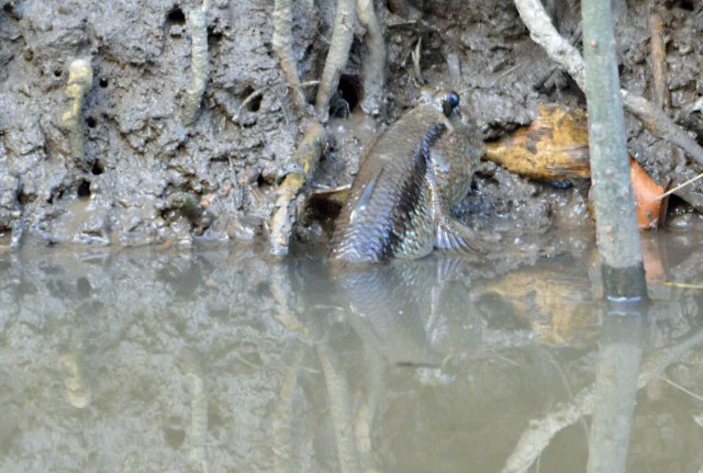 A Giant Mudskipper fish. Saltwater Creek, Cairns. Photo: David Clode.