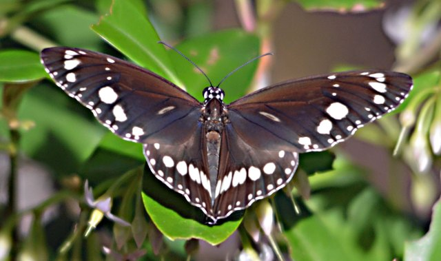 Common Crow Butterfly. Cairns cemetery.
