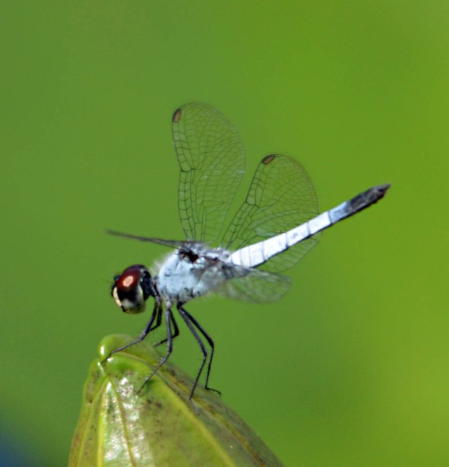 Dragonfly. Photo: David Clode.