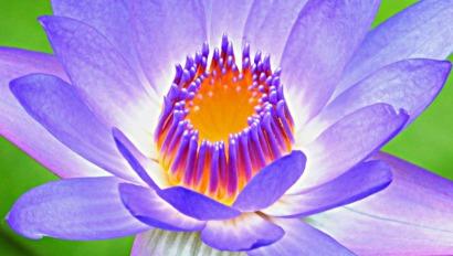 Nymphaea caerulea water lily. Photo: David Clode.