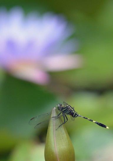 Dragonfly. Nymphaea caerulea.
