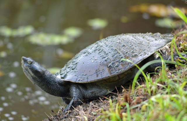 Short-necked Turtle. Freshwater lake, Cairns. Photo: David Clode.