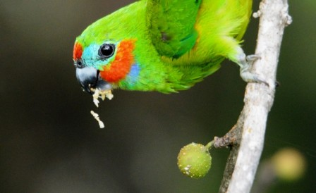 A Double-eyed Fig Parrot eating figs. Photo: David Clode.