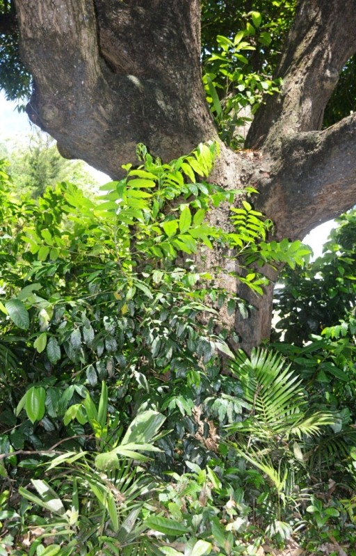 Natural regeneration under a mango tree, of multiple plant species from seeds deposited by birds and fruit bats perching above. An umbrella tree is also growing in the fork of the mango tree. Cairns, Australia.
