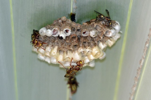 Paper wasps Polistes sp.and nest, under a Bismarck palm leaf. Cairns. Photo: David Clode.