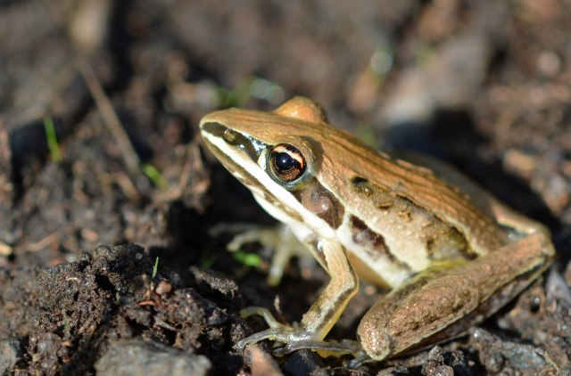 Rocketfrog Lioria nasuta. Cattana wetlands. Photo: David Clode.