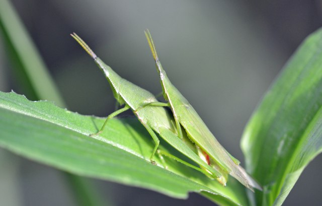 Mating grasshoppers. Cemetery wetland. Photo: David Clode.