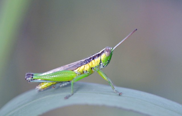 A colourful grasshopper. Cairns Cemetery wetland. Photo: David Clode.