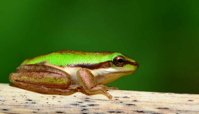 Litoria bicolor. Photo: David Clode.