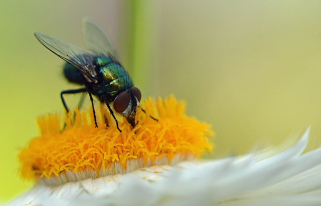 A fly visits an everlasting daisy flower for nectar. Upwey, Melbourne, Australia. Photo: David Clode.