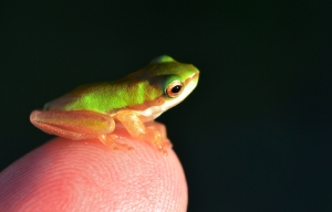 Baby Tree Frog (Northern Dwarf Tree Frog Litoria bicolor). Photo: David Clode.