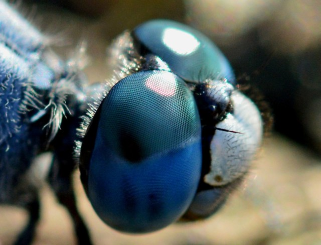 Dragonfly eye. Photo: David Clode.