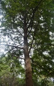 A Grevillea robusta tree which I planted in Tecoma, Melbourne, Victoria, Australia.